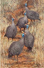 Guineas in the path