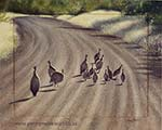 Guineas in the road