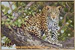 'Leopard in a Marula Tree'